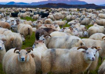 Waarom wij van IJslandse Schapen houden!